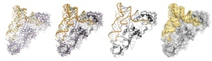 Computer-generated representations of protein and RNA in a molecular embrace (an aminoacyl tRNA synthetase) Facebook Twitter Pinterest Computer-generated representations of protein (grey) and RNA (orange and yellow) in a molecular embrace (an aminoacyl tRNA synthetase) Photograph: Stephen Curry/Personal Collection
