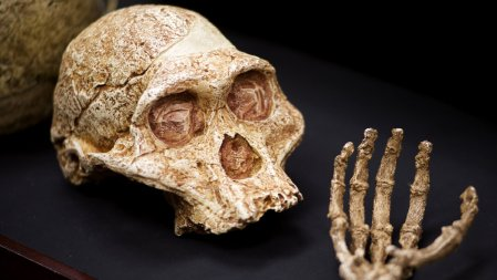 A reconstruction of the skull and hand of Homo naledi, a human ancestor discovered in South Africa. Credit Naashon Zalk for The New York Times