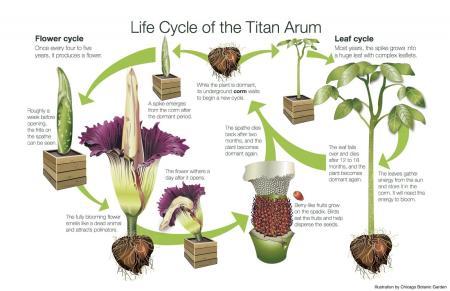 cm16465_titan_arum_life_cycle_17x11
